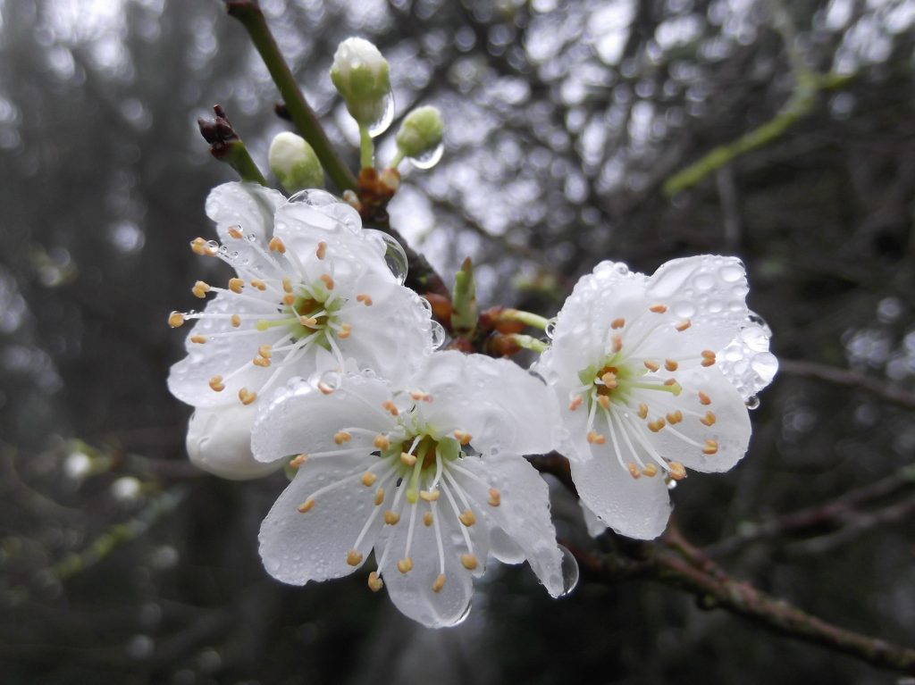 florais-de-bach-brancos