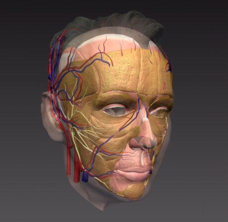 Anatomia da face para estetica
